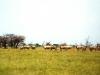 Antilopi orice Ph Christian Penocchio