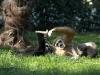 Scimmie gibbone Ph Christian Penocchio