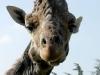 Giraffa Ph Christian Penocchio