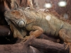 Iguana Ph Christian Penocchio