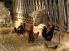 Mucche galline Ph Christian Penocchio