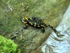 salamandra1_0