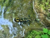 salamandra2_0