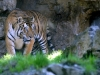 Tigre Ph Christian Penocchio