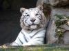 Tigre Albina Ph Christian Penocchio