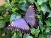 65-farfalle
