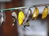 farfalla-bozzolo