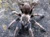 Tarantola ragno